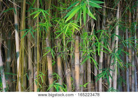 Bamboo tree photo taken in Jakarta Indonesia java