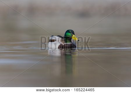 natural male mallard duck (Anas platyrhynchos) swimming in water