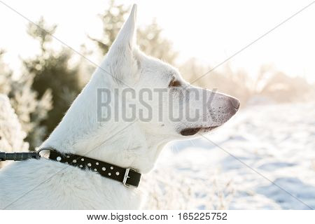 White Lonely Berger Blanc Suisse Dog Watching To The Snowy Forest