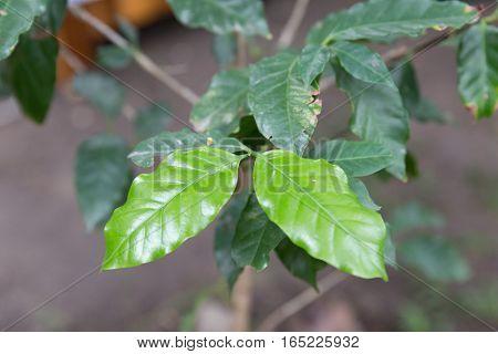 Leaves Of Coffee Tree, Cafe Plantation