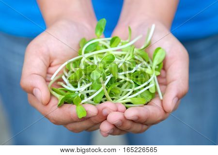 Fresh sunflower sprout organic closeup in hand.