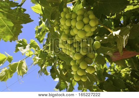 Grapes growing in the vineyard of Tenerife,Canary Islands,Spain.