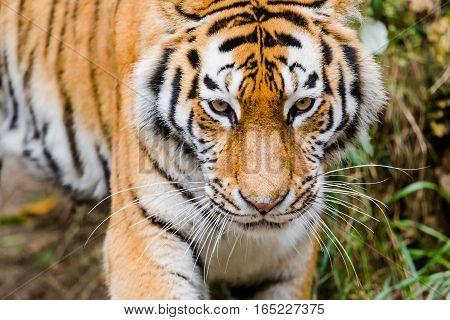 Portrait of Siberian tiger (Panthera tigris altaica)