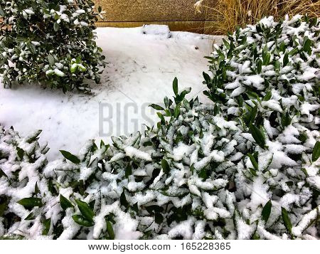 wintry white snow covered leaves on a bush