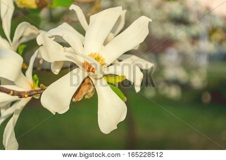 Spring floral background with magnolia flowers. Beautiful flower big magnolia blossoming.