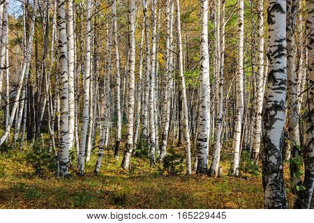 Young and white birches under the autumn sun
