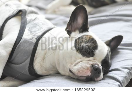 young French bulldog in the bed , French bulldog