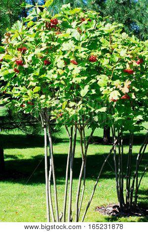 bush rowan berries on a sunny summer day close-up