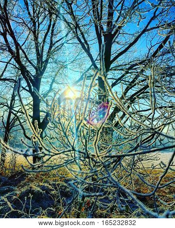 Sun shining through snow laden bare branched trees