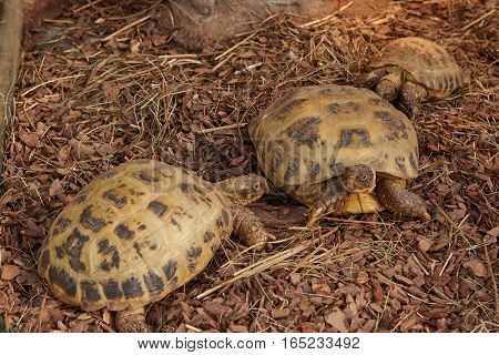 Central Asian tortoise or steppe turtle (the Testudo (Agrionemys) horsfieldii)