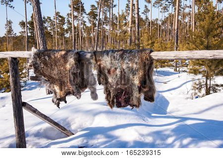 Reindeer pelt with blood spots drying. Winter time.