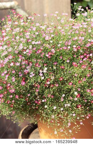 Pink gypsophila flower beautiful in the nature