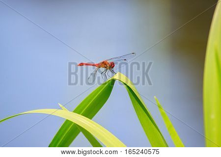 red dragonfly. Beautiful closeup red dragonfly on the grass