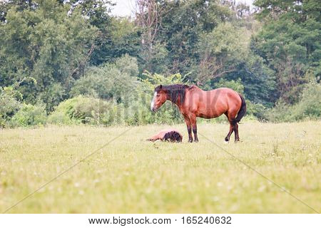 Horses in grass. Adult horse and foal in the meadow