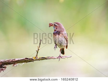 A Bluethroat (Luscinia svecica) perching on a branch with green spring nature as a background.