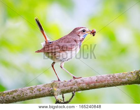 Bluethroat perched. A Bluethroat (Luscinia svecica) perching on a branch with green spring nature as a background.