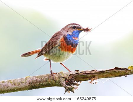 Bluethroat on branch. A Bluethroat (Luscinia svecica) perching on a branch with green spring nature as a background.