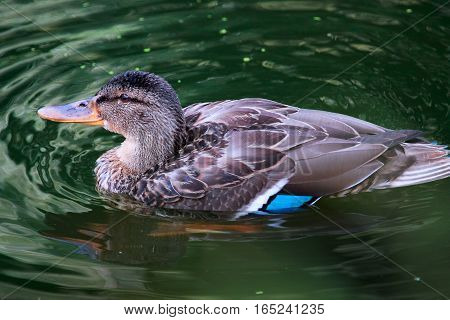 Female mallard duck (Anas platyrhynchos) close up. Waterfowl bird.