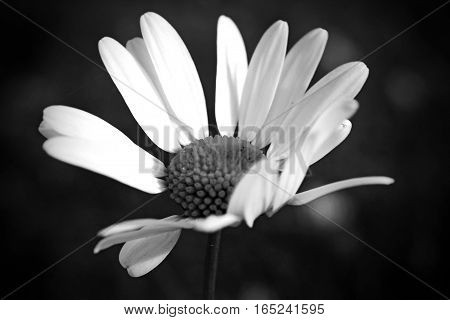 A black and white image of a single white daisy flower.