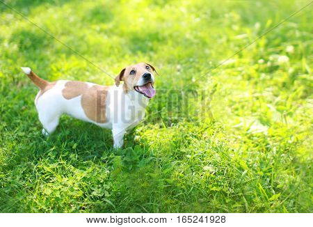Happy Jack Russell Terrier Dog On Green Grass Summer In Sunny Day Looking Up, Copy Space Background