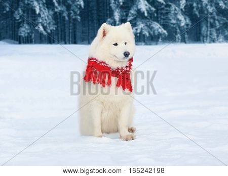 Winter Beautiful White Samoyed Dog Wearing A Red Scarf Sitting On Snow Over Snowy Trees Forest