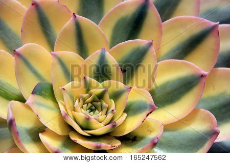 Stunning image of colorful succulent, with thick leaves of buttery yellow,  soft green and tinged with pink.