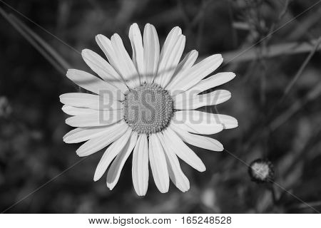 Black and white background of fresh medicinal rchamomile flowers