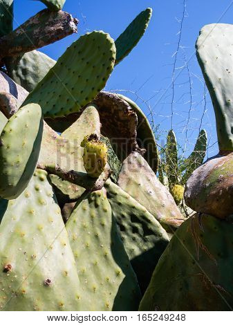 Especially the fruit of the prickly pear