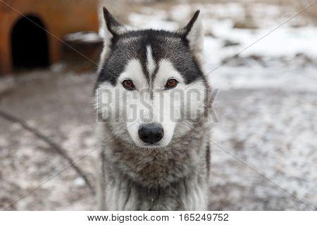 Siberian husky dog outdoors. Portrait of a husky dog . Close-up.
