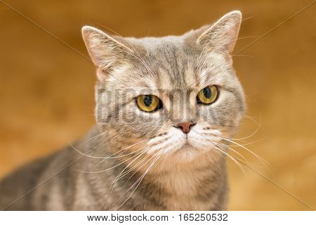 Portrait of the a British cat breed