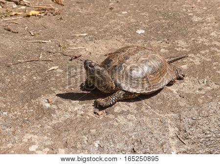 European pond turtle - Emys orbicularis orbicularis on the stone