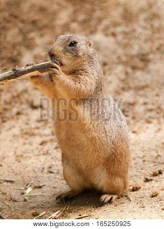 Cynomys ludovicianus - black tailed prairie dog gnawing tree branch