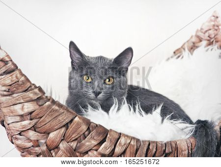 Grey kitten sitting in a wicker couch on a boat, on a white fur