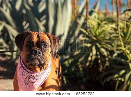 Friendly Boxer dog with a bandana on at the local dog park