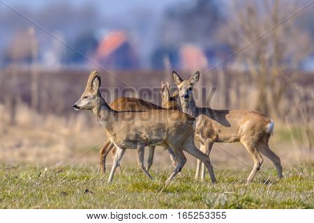 Urbanized Group Roe Deer