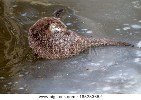 Otter On Frozen Lake