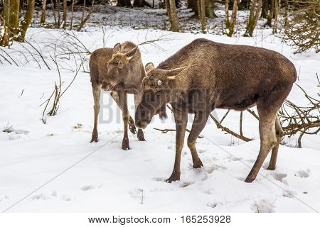 Moose Or Elk With Calf