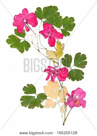 Isolated Pink Geranium Application Of Dried Pressing Bright Flowers