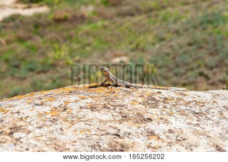 Lizard On A Rock At Gobustan National Park.