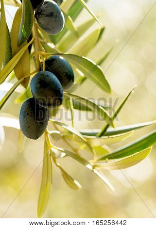 vertical image of warm summer light on a group of olives hanging from a tree in a mediterranean country negative space for words and text on a bokeh background