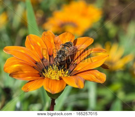Dead Head Hoverfly on Orange Flower in a hotel garden in Madeira