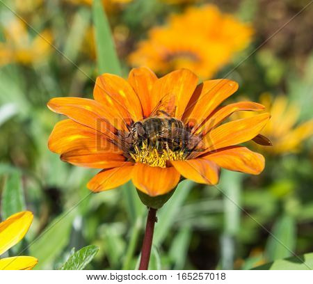Dead Head Hoverfly Perched on an Orange Flower in a hotel garden in Madeira