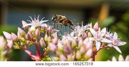 A Honeybee stepping from one petal to another on a Jade Plant in Madeira
