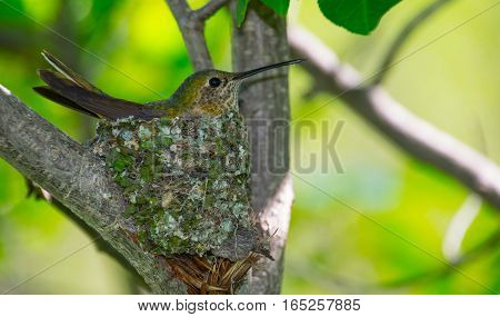 A Hummingbird on her nest in Springtime