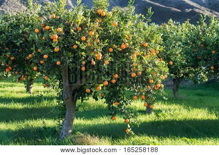 full tree of mediterranean oranges grown in a grassy meadow