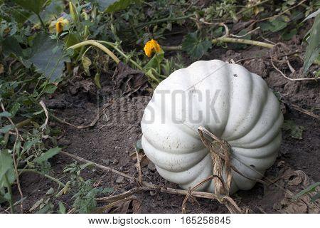 a very big pumpkin in the field