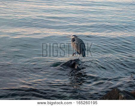 A Blue Heron stands on shoreline rocks in Des Moines Washington.