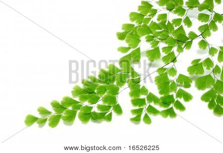 Maiden Hair Fern frond, border or corner accent, isolated on white