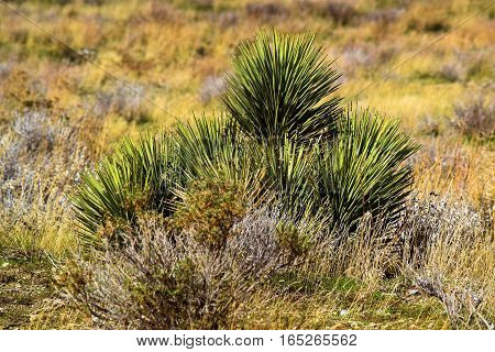 Young Joshua Tree amongst Sagebrush taken in the rural Mojave Desert, CA