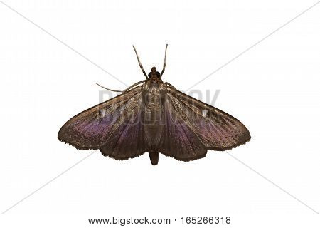 A butterfly of the family moth (lat. Pyralidae)